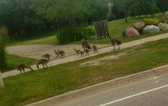 Mom, Dad, babies safely crossed Buttonville, Ontario Canada