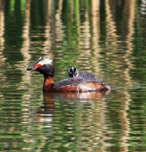 The Grebe family.Loving the sun and water. calgary alberta