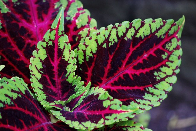 Coleus Richmond Hill, ON
