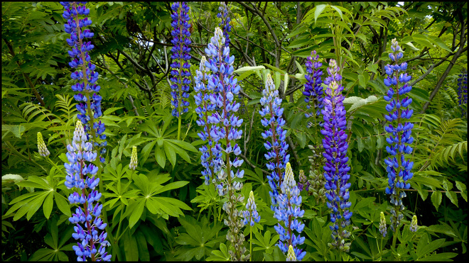 Lupines among the growth, Elliot Lake.