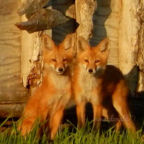foxes Olds, Alberta Canada