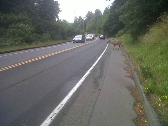 Before you cross street deer. Comox Valley, British Columbia Canada