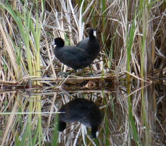 TWO HEADED COOT?