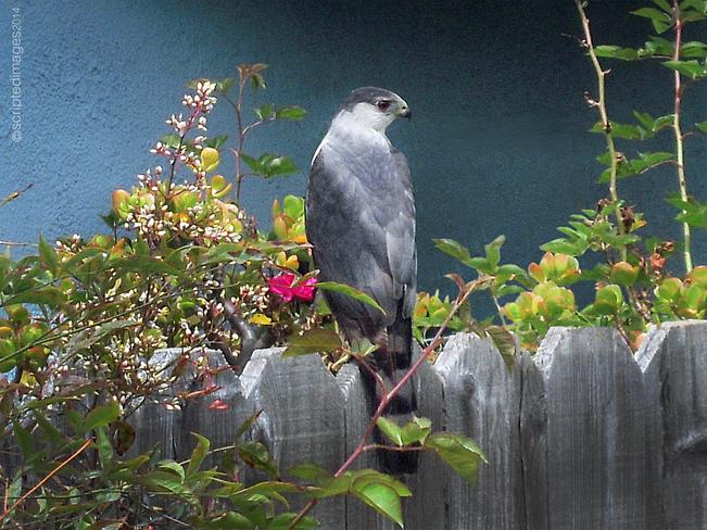 Hawk in my yard