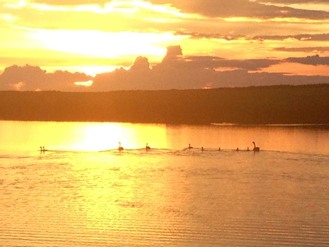 family of geese at sunset Russell, Manitoba Canada