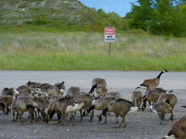 WHY DID THE GEESE NOT CROSS THE ROAD??