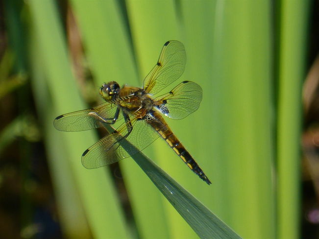 FOUR-SPOTTED SKIMMER PROVES A CHALLENGE!