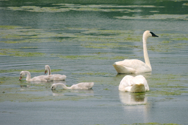 Trumpeter Swan Cygnets Go for the Gusto
