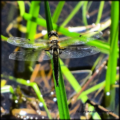 Dragonfly Nelson, British Columbia Canada