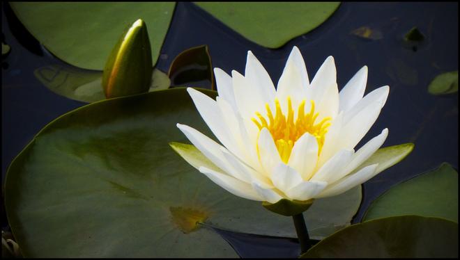 Water Lilies, Elliot Lake.