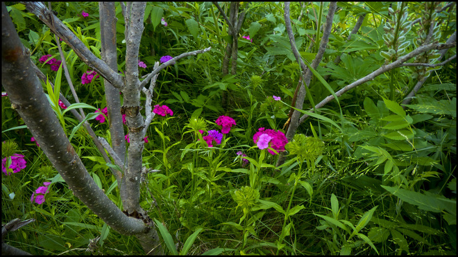 Hidden wild flowers, Elliot Lake.