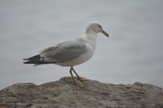 Ring-Billed Gull! St. Catharines, Ontario Canada