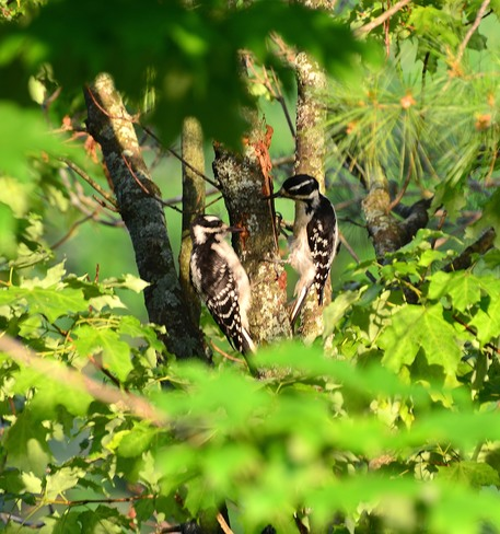 Pair of female Hairy Woodpeckers Kingston, Ontario Canada