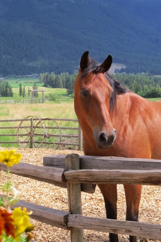 Pretty mare. Armstrong, BC