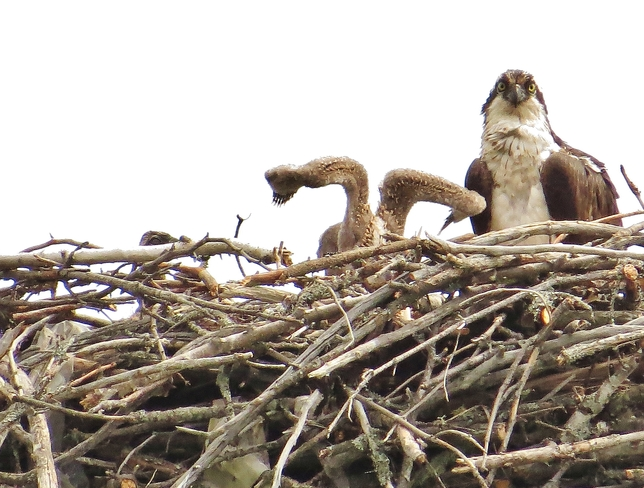 Osprey chick stretching wings? North Bay, Ontario Canada