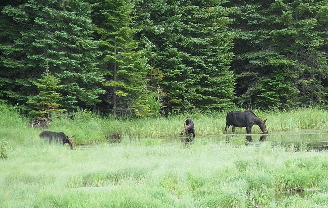 Moose Twins at Algonquin Whitney, ON