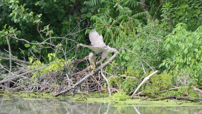 Whole family of Black-Crowned Night Heron! St. Catharines, ON