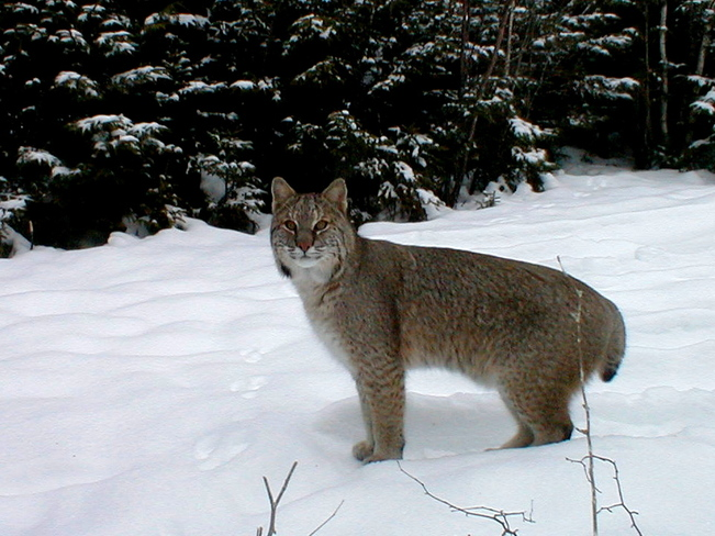U S Mountain Lion Population Submitted by Gerald M....