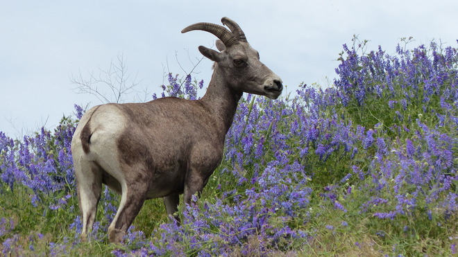 Big horn sheep.ewe standing in lupins Grand Forks, BC