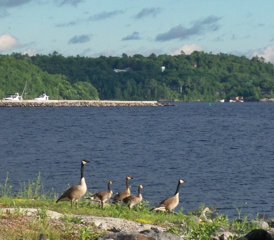 Canada geese on Ggeorgian bay Fitness Trail, Parry Sound, ON P2A, Canada