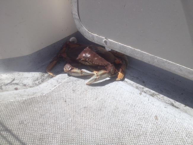 someone is a little crabby Sooke, British Columbia Canada