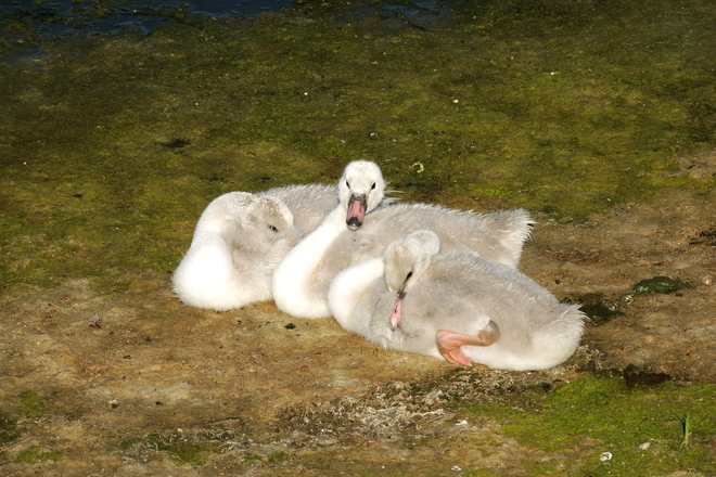 Hey Buddy can you spare a Blanket ??Trumpeter Swan Cygnets.