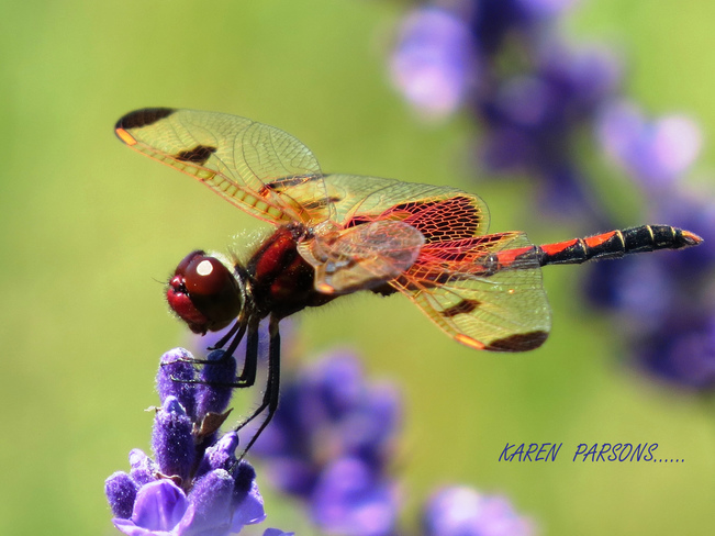 Dragon Fly Loving the Lavendar 410 Concession 12 Townsend, Waterford, ON N0E 1Y0, Canada