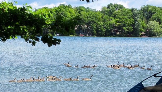 All my geese in a row. Orillia, ON