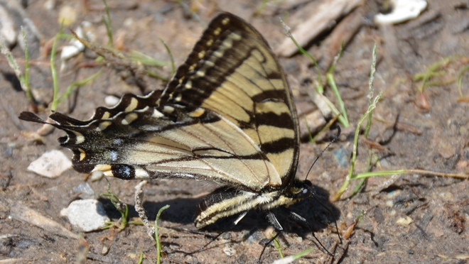 Tiger Swallowtail Butterfly! St. Catharines, ON