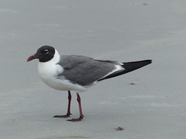 Laughing gull Crow Neck Beach, Baccaro Road, Baccaro, NS