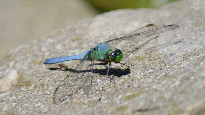 Dragonfly! St. Catharines, ON