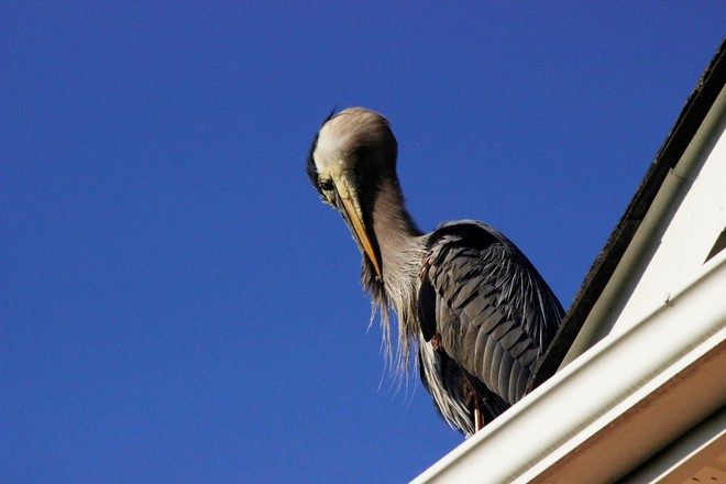Preening on the roof !! Richmond Hill, Ontario Canada