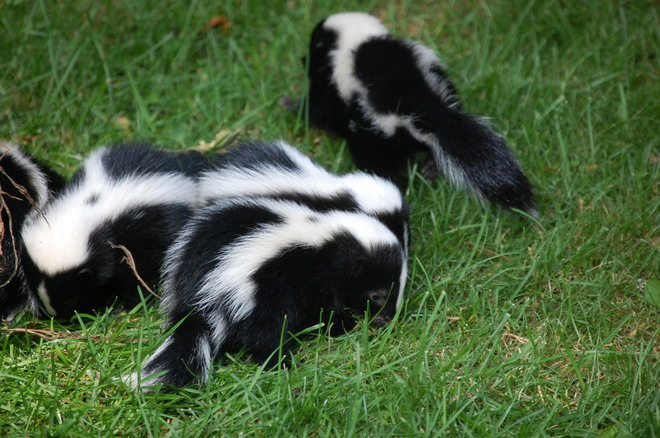 Litter of Skunks Beaverton, ON