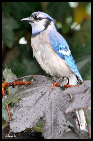 Geai bleu sous la pluie. Chambly, QC