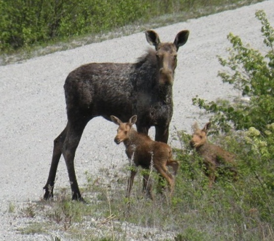 moose cow and 2 calf Angliers, QC