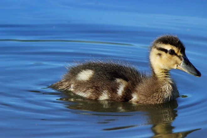Lovely duckling Richmond Hill, Ontario Canada