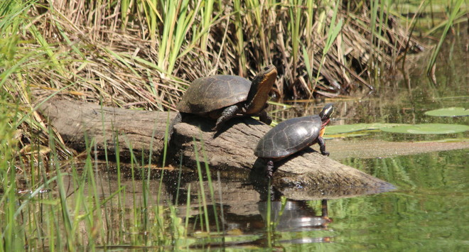 Blanding and Painted Turtles Bolsover, Kawartha Lakes, ON