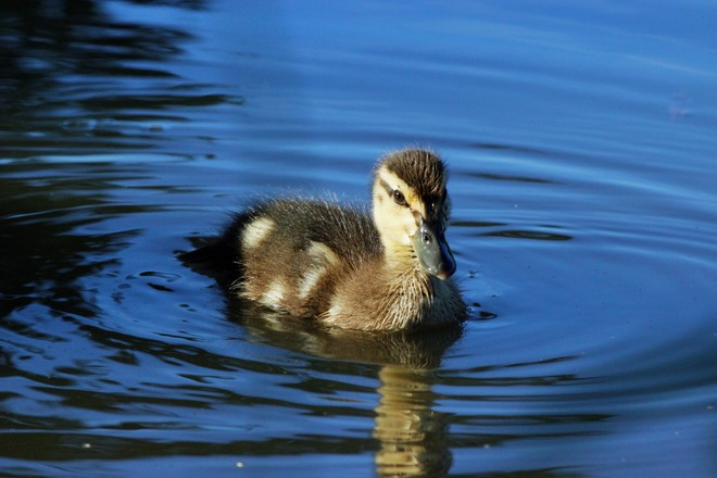 Beautiful duckling Richmond Hill, Ontario Canada
