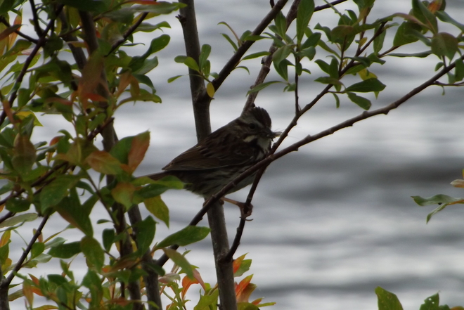 SPARROW EATING Thunder Bay, ON