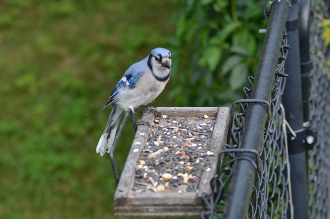 Blue Jay with a plate full of seeds Granite House, Caledon Ontario