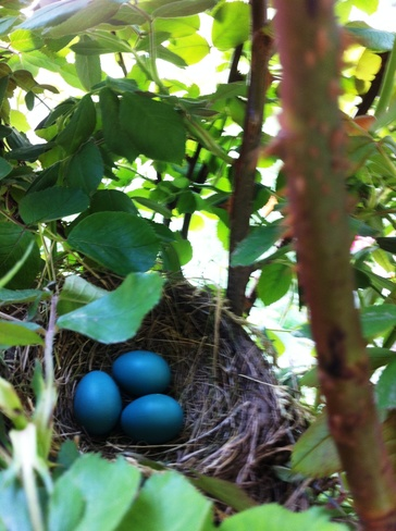 Robin Eggs & Babies Kitchener, ON
