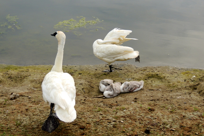 Trumpeter Swans Teaching their Cygnets how to Preen.