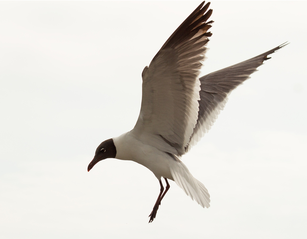 Laughing Gull, Post-Arthur Water Street, Yarmouth, NS, Canada