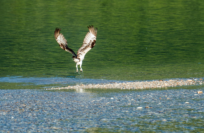 Osprey take off Waterway Houseboat Vacations, Mervyn Road, Sicamous, BC