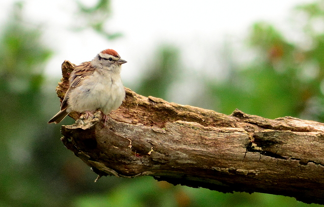 Chipping sparrow Laval, QC