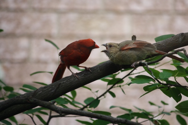 Baby Cardinal and Dad !!! Orangeville, ON