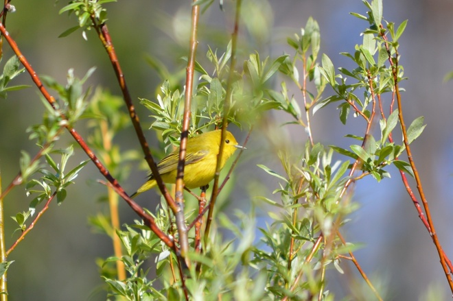 another itty bitty Warbler Lumby, British Columbia Canada