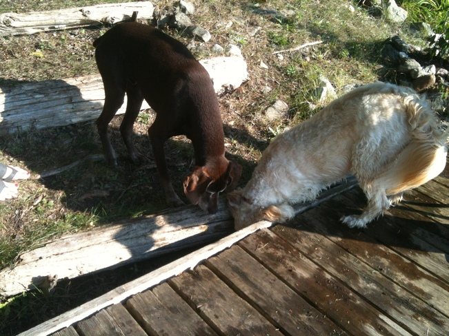 Chloe (R) & Griffin (L) trying to get the ball they lost under the dock! Fenelon Falls, Kawartha Lakes, ON