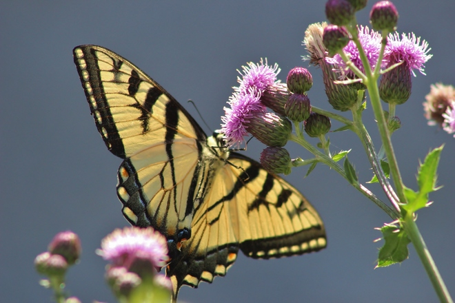 tiger swallowtail butterfly Seaforth, Huron East, ON