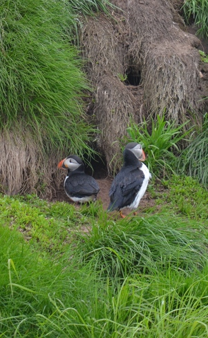 Puffins nesting Witless Bay, NL